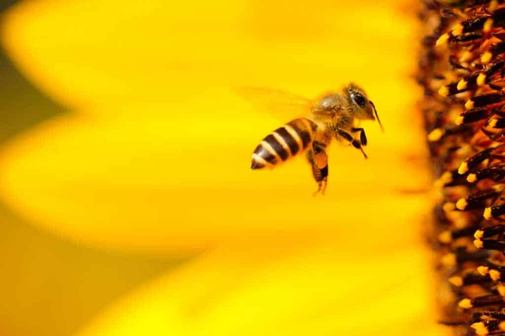 Biene im Anflug auf eine Sonnenblumenblüte