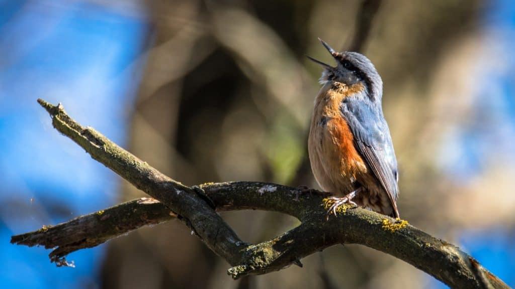 Vogel beim Gesang im Wald