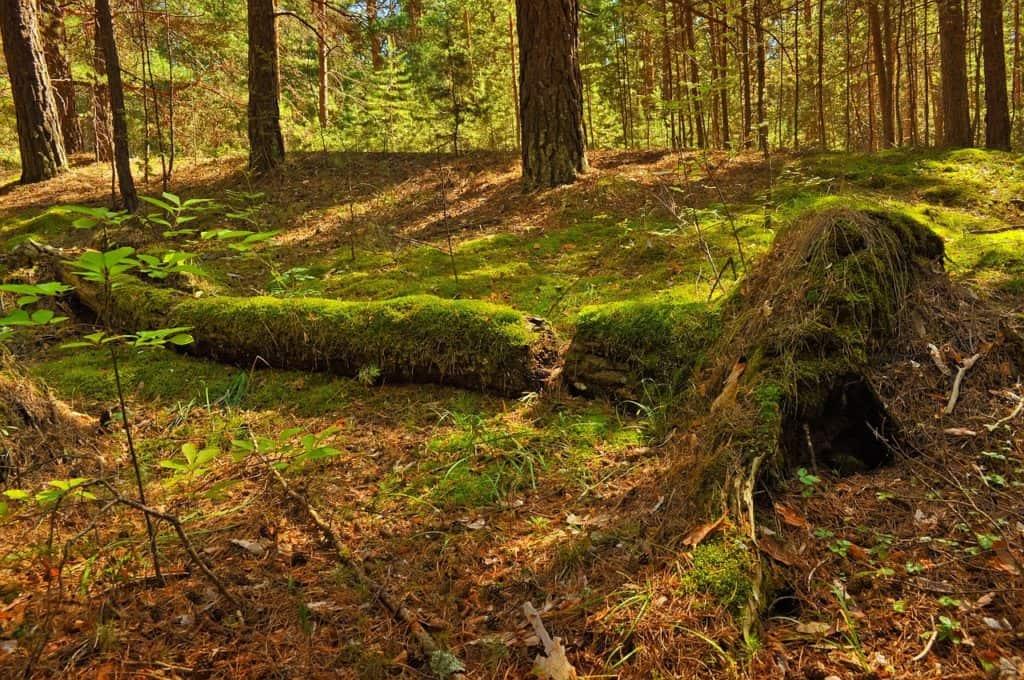 mit Moos bewachster, umgestürzter Baum